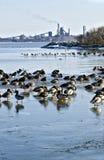 Resting flock of water birds Stock Photos