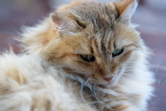 Resting fluffy cat on wooden background. Lady- Royalty Free Stock Images