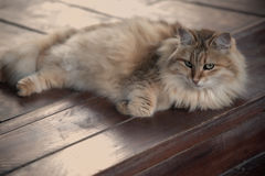 Resting fluffy cat on wooden background. Lady- Stock Image