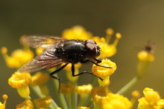 Resting fly Stock Images