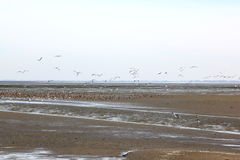 Resting and flying ducks in Waddenzee, Ameland, Holland. The Wadden Sea is the largest unbroken system of intertidal sand and mud flats in the world. It is a Royalty Free Stock Photos
