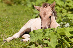 Resting foal Royalty Free Stock Image