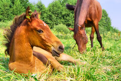 Resting foal with mother Stock Images