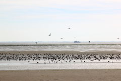 Resting and foraging ducks in Waddenzee, Ameland Royalty Free Stock Images