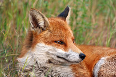 Resting Fox Royalty Free Stock Images