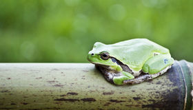Resting frog. A green frog (tree frog) while resting on a bamboo branch Royalty Free Stock Images