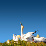Resting gannet family in blue sky, Germany Royalty Free Stock Photos