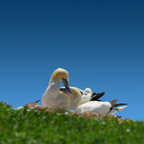 Resting gannet family in blue sky, Germany Stock Image
