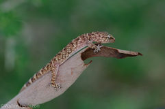 Resting gecko Stock Images