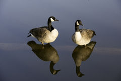 Resting geese on a pond log. Royalty Free Stock Image