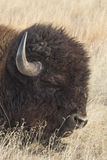 Resting Giant. Buffalo laying down in the tall prairie grass Royalty Free Stock Image