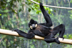 Resting gibbon. Yellow-cheeked gibbon (Nomascus gabriellae) male stock image
