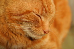 Resting Ginger Cat Royalty Free Stock Photo