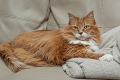 Resting ginger tabby cat. White and ginger tabby cat with green eyes resting on a beige plush blanket on a beige sofa Royalty Free Stock Image