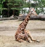 Resting giraffe stock images