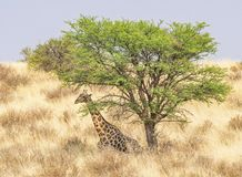 Resting Giraffe. A giraffe resting in the Kgalagadi Transfrontier Park, situated in the Kalahari Desert which straddles South Africa and Botswana Royalty Free Stock Images