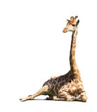 Resting giraffe  over white Royalty Free Stock Photos