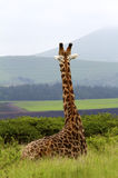 Resting Giraffe Overlooking Hills Stock Photos