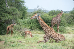 Resting Giraffes. A giraffe relaxes in the mid day sun Stock Photography