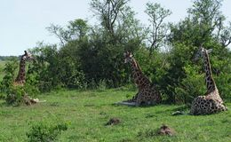 Resting Giraffes in Uganda. Some Rothschild Giraffes resting on the ground in Uganda (Africa stock photos