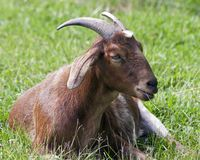 Resting goat Royalty Free Stock Photography