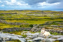 A resting goat in Inishmore, Aran Islands, Ireland. Inishmore is one of western Ireland`s Aran Islands. It sits at the mouth of Galway Bay and is known for Stock Image