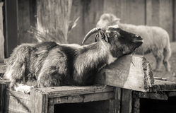 Resting Goat Stock Photos