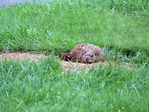Resting gopher at entrance to burrow. A gopher resting at the opening to his burrow royalty free stock photos