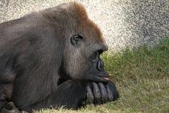 Resting Gorilla Stock Image