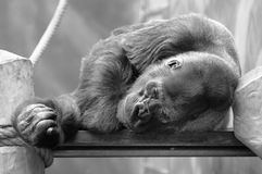 Resting Gorilla Stock Photos