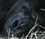 Resting Gorilla. A gorilla lays down to rest after a long day royalty free stock photos