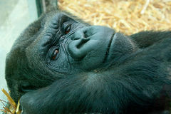 Resting gorilla Royalty Free Stock Images