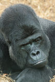Resting gorilla Stock Photography