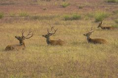 Cluster of Male Swamp Deer Resting royalty free stock photography