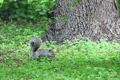 Resting gray squirrel beneath a tree Royalty Free Stock Image