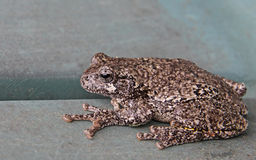 Resting Gray Tree Frog Stock Photos