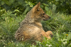 Resting gray wolf Stock Photo
