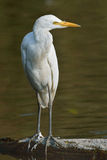 Resting. Great Egret resting on dead tree in natural pond Stock Photos