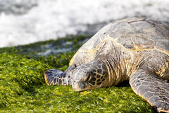 Resting Green Sea Turtle. Green sea turtle resting on seaweed covered rocks stock photography