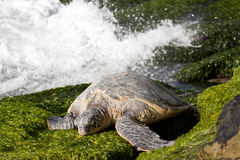 Resting Green Sea Turtle. Green sea turtle resting on seaweed covered rocks stock image