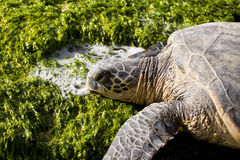 Resting Green Sea Turtle. Green sea turtle resting on seaweed covered rocks Royalty Free Stock Photo