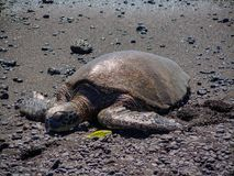 A resting green sea turtle on the black sand Punalu`u beach on the big island of Hawaii stock images