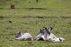 Resting Grey Goats Royalty Free Stock Photos