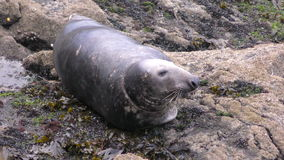 Resting Grey Seal stock footage