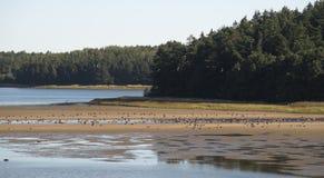 Resting Greylag gooses at sea shore Stock Photos