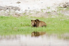 Resting Grizzly Bear Stock Images