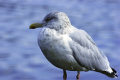 Resting Gull Stock Photo
