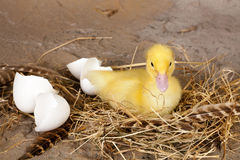 Resting hatched duckling Stock Photo