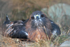 Resting Hawk Royalty Free Stock Photography