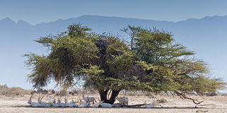 Resting herd of antelope - the Arabian Oryx Stock Image